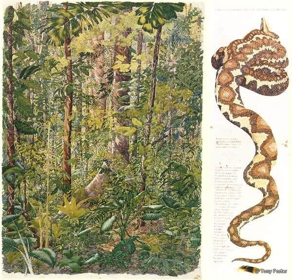 Primary Rainforest and Boa Constrictor - Costa Rica -  Diptych: 43'' x 31'' - 43 x 12½''  -